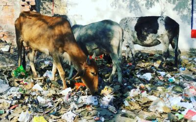 India's five million stray cows