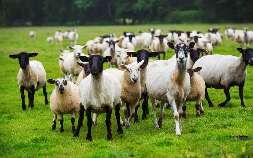 Lamb for St Andrew's Day 'Lamb Bank' for Scottish schools announced by Scotland's Livestock Auctioneers