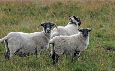 Don't be sheepish about scanning for OPA say North East farmers