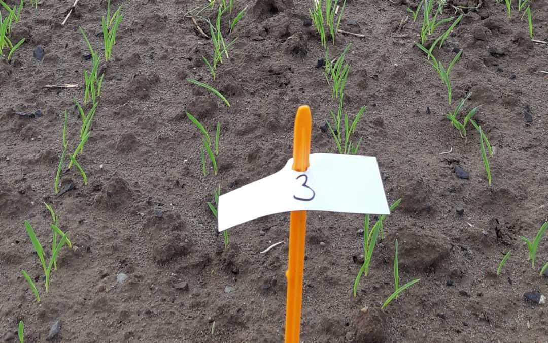 Kinto® Plus, the new BASF seed treatment for winter cereals, is available for use this autumn