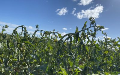 Disease control crucial in source limited modern wheats
