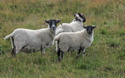 'Single step' is a big leap forward for profitable sheep production in New Zealand
