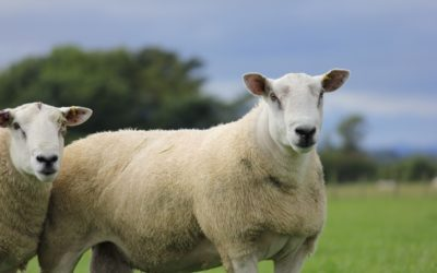 Fearn's 'Great from Grass' Ram Sale Celebrates Another Triumphant Year